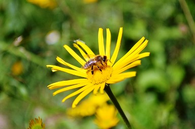 Bee - GRethexis - Pixabay