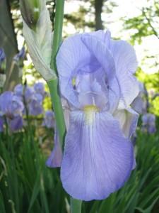 Iris florentiana