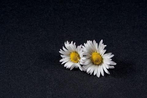 daisy-1338961_960_720